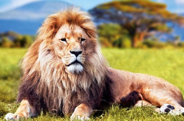 Safari - lev Simba