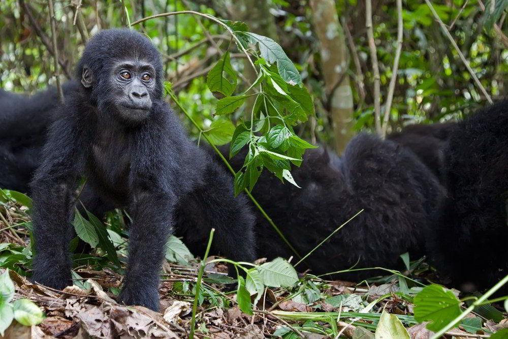 Masai Mara Safari v Keni a horské gorily v Ugandě - 16 dní