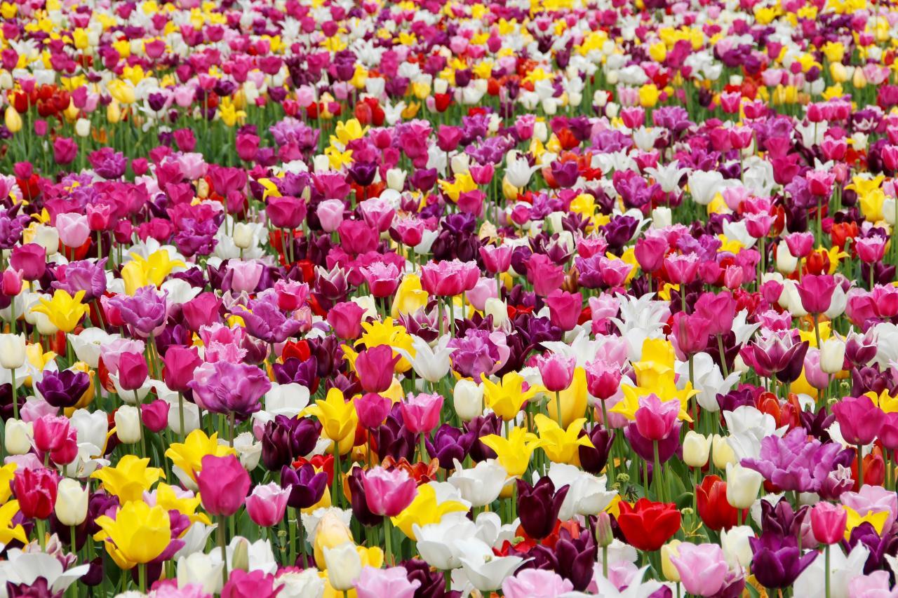 Květinové Holandsko a romantická Belgie - v době jarního květu